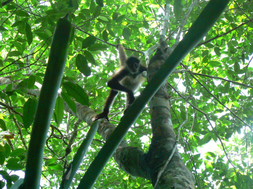 spider monkey punta laguna mexico