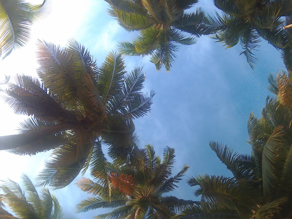 caribe palm trees