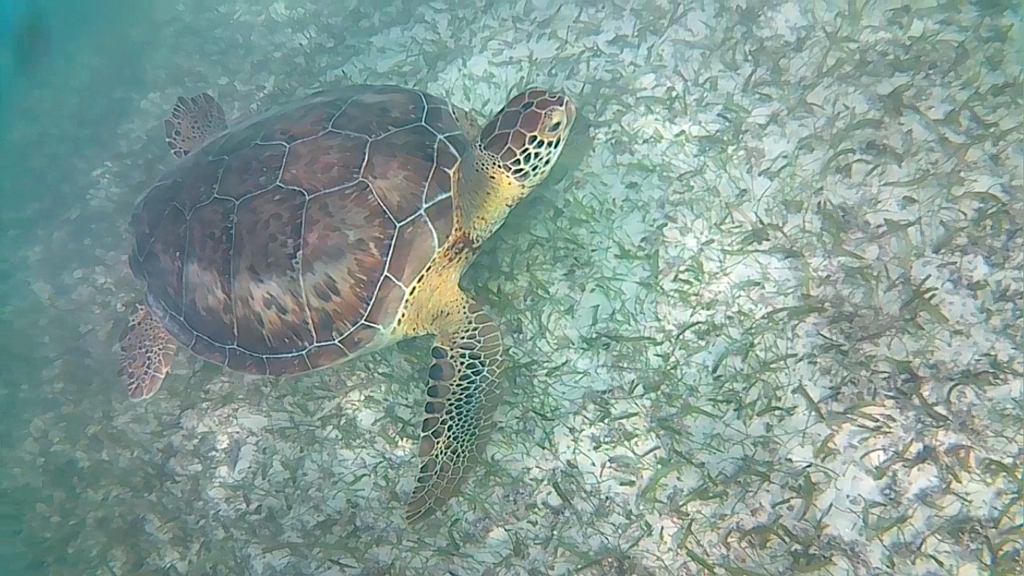 turtle in akumal beach