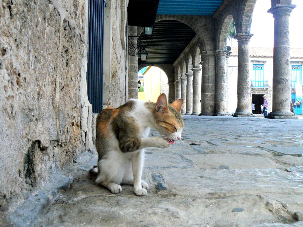 a cat in La Habana
