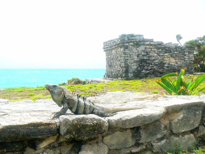 my friend the iguana tulum's ruins