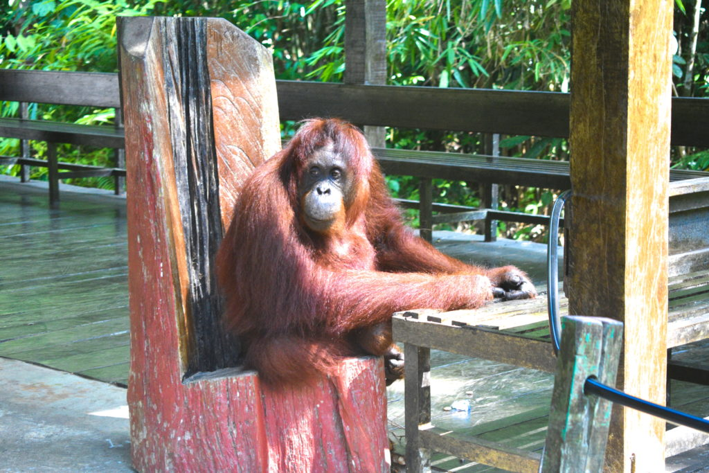 orangutan sitting on a bench