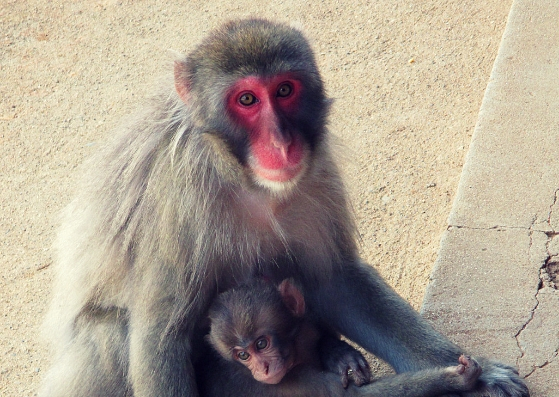 mother monkey arashiyama