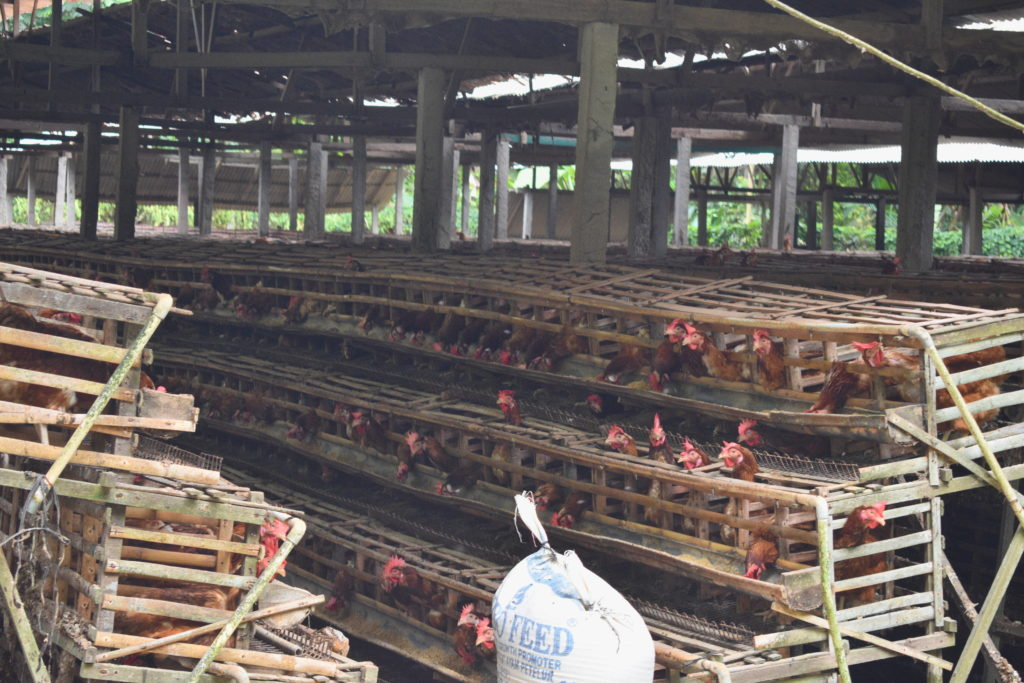 chicken farm in Candidasa