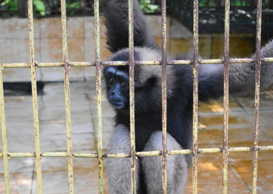 gibbon matang