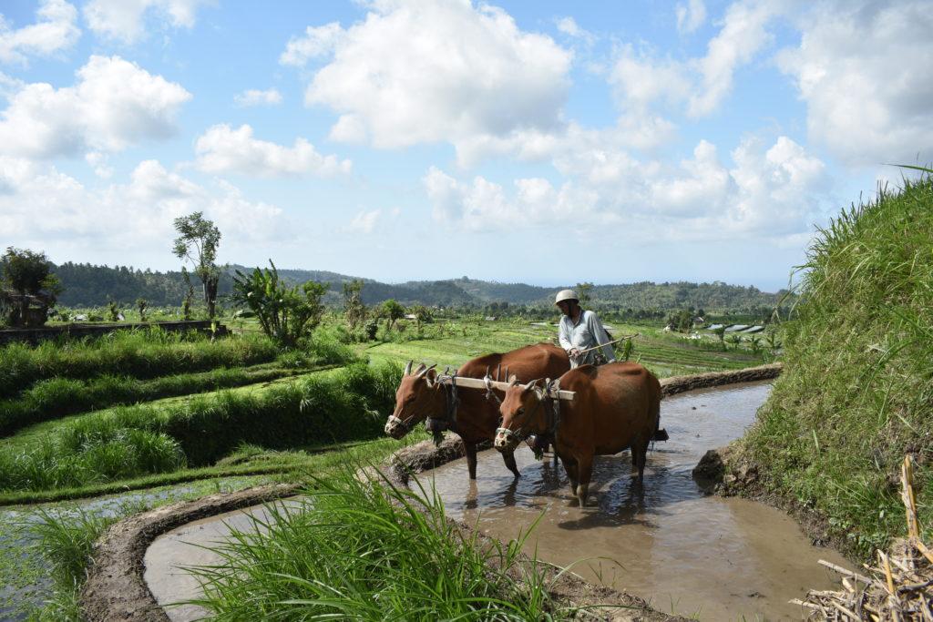 rice fields near Candidasa